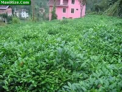 Çay Bitkisinin Tarihi