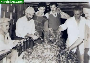 Osmanlı Belgelerinde Çay Tarımı